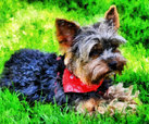 'Bandit' the Yorkie